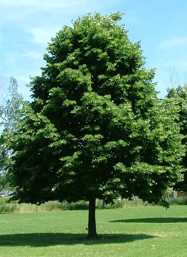 De buurtkiep - Deksel van de boom ...